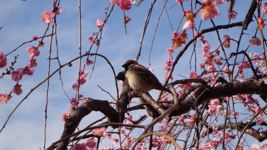 a small bird with Ume blossom